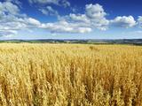 Oat Field, Thorverton, Devon, England, United Kingdom, Europe Photographic Print by Jeremy Lightfoot