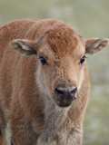Bison (Bison Bison) Calf, Yellowstone National Park, Wyoming, USA, North America Photographic Print by James Hager