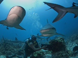 Diver Swimming with Caribbean Reef Shark (Carcharhinus Perezii), Roatan, Bay Islands, Honduras Photographic Print by Antonio Busiello