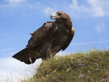 Golden Eagle (Aquila Chrysaetos), Captive, United Kingdom, Europe Photographic Print by Ann & Steve Toon