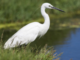 Little Egret (Egretta Garzetta), Intaka Island, Cape Town, Western Cape, South Africa, Africa Photographic Print by Ann &amp; Steve Toon