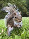 Grey Squirrel (Sciurus Carolinensis), in City Park, Brandon Park, Bristol, England, UK, Europe Photographic Print by Ann & Steve Toon