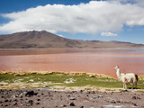 Llama (Lama Glama) with Volcano in Background, Eduardo Avaroa Nat'l Park, Bolivia Photographic Print by Phil Clarke-Hill