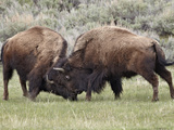 Bison (Bison Bison) Cows Sparring, Yellowstone National Park, Wyoming, USA, North America Photographic Print by James Hager