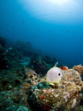 Smooth Trunkfish (Lactophrys Triqueter), Foureye Butterflyfish (Chaetodon Capistratus), St Lucia Photographic Print by Lisa Collins