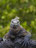 Galapagos Marine Iguana (Amblyrhynchus Cristatus), UNESCO World Heritge Site, Ecuador Photographic Print by Michael Nolan