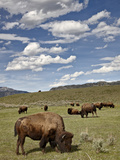 Bison (Bison Bison) Cows Grazing, Yellowstone Nat'l Park, UNESCO World Heritage Site, Wyoming, USA Photographic Print by James Hager