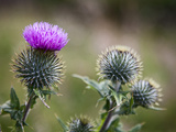 Scottish Thistle Near Dunnottar Castle, Stonehaven, Aberdeenshire, Scotland, United Kingdom, Europe Photographic Print by Mark Sunderland