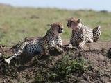 Cheetah (Acynonix Jubatus), Masai Mara, Kenya, East Africa, Africa Photographic Print by Sergio Pitamitz