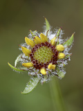 Common Gaillardia (Gaillardia Aristata), Waterton Lakes Nat'l Park, Alberta, Canada Photographic Print by James Hager