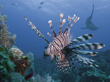 Lionfish (Pterois Volitans), and Caribbean Reef Shark (Carcharhinus Perezii), Roatan, Honduras Photographic Print by Antonio Busiello