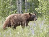 Cinnamon Black Bear (Ursus Americanus) Cub, Waterton Lakes National Park, Alberta, Canada Photographic Print by James Hager
