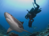 Diver Swimming with Caribbean Reef Shark (Carcharhinus Perezii), Roatan, Bay Islands, Honduras Photographie par Antonio Busiello