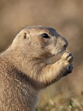 Blacktail Prairie Dog (Cynomys Ludovicianus), Theodore Roosevelt Nat'l Park, North Dakota, USA Photographic Print by James Hager
