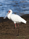 African Spoonbill (Platalea Alba), Kruger National Park, South Africa, Africa Photographic Print by Ann & Steve Toon