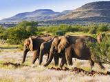 African Elephant (Loxodonta Africana), Damaraland, Kunene Region, Namibia, Africa Photographic Print by Nico Tondini
