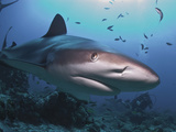 Caribbean Reef Shark (Carcharhinus Perezii) Swimming with Diver, Roatan, Bay Islands, Honduras Photographic Print by Antonio Busiello