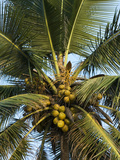 Detail of Coconut Tree, Goa, India, Asia Photographic Print by Stuart Black
