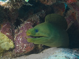 Close-Up of Green Moray (Gymnothorax Funebris), Roatan, Bay Islands, Honduras, Caribbean Photographic Print by Antonio Busiello