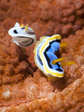 Chromodoris Dianae and Chromodoris Strigata Nudibranches, Sulawesi, Indonesia, Southeast Asia, Asia Fotografisk tryk af Lisa Collins