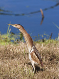 Little Bittern (Ixobrychus Minutus), Intaka Island Wetland Centre, Cape Town, South Africa Photographic Print by Ann &amp; Steve Toon