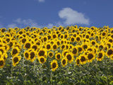 Sunflowers in Tuscany, Italy, Europe Photographic Print by Angelo Cavalli