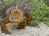 Galapagos Land Iguana (Conolophus Subcristatus), Galapagos Is, UNESCO World Heritge Site, Ecuador Fotografie-Druck von Michael Nolan