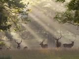 Deer in Morning Mist, Woburn Abbey Park, Woburn, Bedfordshire, England, United Kingdom, Europe Fotografisk tryk af Stuart Black