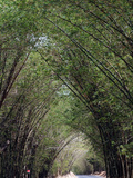 Bamboo Avenue, St. Elizabeth, Jamaica, West Indies, Caribbean, Central America Photographic Print by Ethel Davies