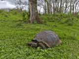 Wild Galapagos Giant Tortoise (Geochelone Elephantopus), UNESCO World Heritage Site, Ecuador Photographic Print by Michael Nolan
