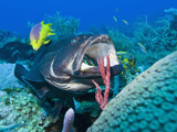 Black Grouper (Mycteroperca Bonaci) at Cleaning Station, Roatan, Bay Islands, Honduras, Caribbean Photographic Print by Antonio Busiello