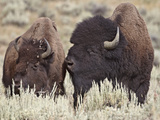 Bison (Bison Bison) Bull and Cow, Yellowstone National Park, Wyoming, USA, North America Photographic Print by James Hager