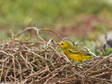 Adult Yellow Warbler (Dendroica Petechia Aureola), Galapagos Is, UNESCO World Heritge Site, Ecuador Photographic Print by Michael Nolan