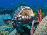 Close Up of Black Grouper (Mycteroperca Bonaci) with His Mouth Open, Roatan, Bay Islands, Honduras Photographic Print by Antonio Busiello