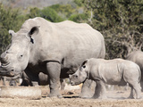 White Rhino (Ceratotherium Simum) and Calf, Mauricedale Game Ranch, Mpumalanga, South Africa Photographic Print by Ann & Steve Toon