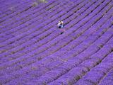 People in Lavender Field, Lordington Lavender Farm, Lordington, West Sussex, England, UK, Europe Photographic Print by Jean Brooks