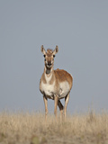 Female Pronghorn (Antilocapra Americana), Pawnee National Grassland, Colorado, USA, North America Photographic Print by James Hager