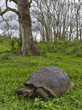 Wild Galapagos Giant Tortoise (Geochelone Elephantopus), Santa Cruz Is, Galapagos Islands, Ecuador Photographic Print by Michael Nolan