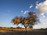 Landscape at Dusk, with Thorn Tree, Kgalagadi Transfrontier Park, Northern Cape, South Africa Photographic Print by Ann & Steve Toon