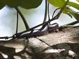 Giant Millipede (Gonibregmatus Plurimipes), Fiji, Pacific Islands, Pacific Photographic Print by Matthew Frost