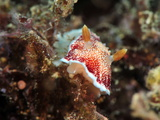 Undescribed Chromodoris Sp 7 Nudibranch, Philippines, Southeast Asia, Asia Photographic Print by Lisa Collins