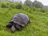 Wild Galapagos Giant Tortoise (Geochelone Elephantopus), UNESCO World Heritge Site, Ecuador Photographic Print by Michael Nolan