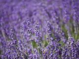 Lavender Field, Lordington Lavender Farm, Lordington, West Sussex, England, United Kingdom, Europe Photographic Print by Jean Brooks