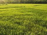 Rice Fields, Polonnaruwa, Sri Lanka, Asia Photographic Print by Jochen Schlenker