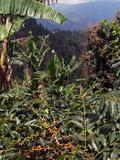 Blue Mountain Coffee Beans, Lime Tree Coffee Plantation, Blue Mountains, Jamaica, West Indies Reproduction photographique par Ethel Davies