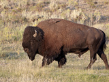 Bison (Bison Bison) Bull, Yellowstone National Park, Wyoming, USA, North America Photographic Print by James Hager