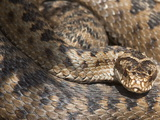 Adder (Vipera Berus) in Closeup, before Shedding Skin, Northumberland National Park, England, UK Photographic Print by Ann & Steve Toon