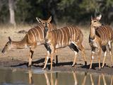 Nyala (Tragelaphus Angasii) Females, Hluhluwe Imfolozi Game Reserve, Kwazulu-Natal, South Africa Photographic Print by Ann & Steve Toon