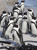 African Penguins (Spheniscus Demersus), Table Mountain National Park, Cape Town, South Africa Fotografisk tryk af Ann & Steve Toon