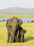 Sri Lankan Elephant (Elephas Maximus Maximus), Minneriya National Park, Sri Lanka, Asia Photographic Print by Jochen Schlenker